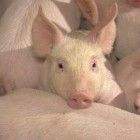 Nine out of ten pigs for the slaughterhouse in Denmark is now infected with MRSA. The pig-MRSA trnasferred to humans is a growing problem.