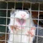 Captive mink in Denmark being bred for their fur creates fear for