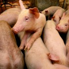Use of antibiotics in intensive farming has risen as pigs and other livestock are kept in ever more crowded conditions.