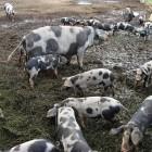 Svinebønder kan reducere medicinforbruget med op til 90 procent og dermed være med til at forhindre MRSA-bakterien i at have en selektionsfordel. Her er det sortbrogede svin hos Susanne Possing.