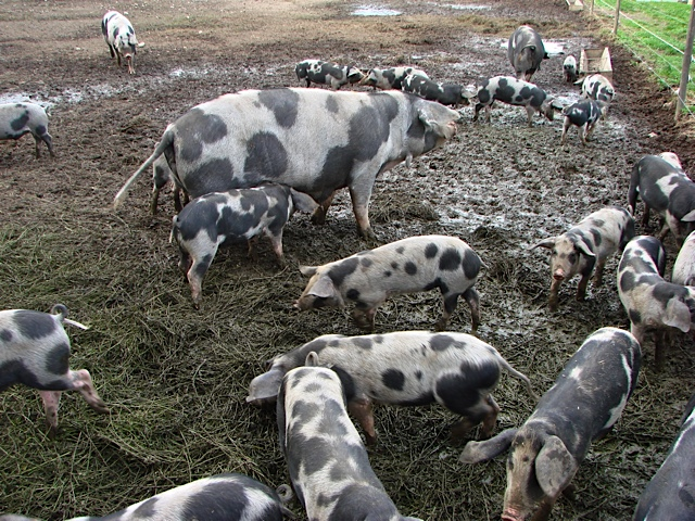 Pig farmers can reduce the consumption of medicine by up to 90% and in this way help prevent MRSA bacteria from gaining an advantage in terms of selection. Here are black speckled pigs at Petershave. They are kept free of medicine. Picture: Susanne Possing..